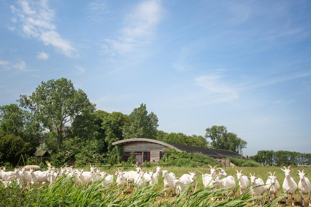 Bedrijfsfotografie - Kudde Geiten In De Weide Met Moderne Schuur/woning